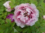 Pivoine arbustive rose (Paeonia suffruticosa) -Fleur et feuilles-