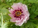 Pivoine arbustive rose (Paeonia suffruticosa) -Fleur épanouie et feuilles-