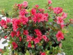 Rhododendron hybride 'Anna Rose Whitney' photographi� � Tournan-en-Brie (77)