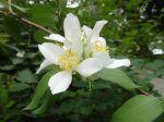 Seringat ou Jasmin des poètes (Philadelphe coronarius) -Fleurs et feuilles- photographié à Vincennes (94)