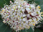 Skimmia du Japon (Skimmia japonica) -détail de la grappe de fleurs-