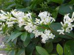 Tro�ne commun (Ligustrum vulgare) -D�tail d'une hampe florale-
