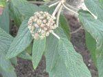 Viorne à feuilles ridées (Viburnum rhytidophyllum) -Feuilles et graines-