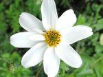 Anémone sylvie ou Anémone des bois, Pâquette (Anemone nemorosa), fleur sauvage photographiée près des bords de l'Orge (91)