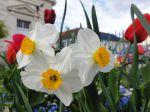 Narcisses (Narcissus)
