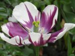 Tulipe bicolore hybride (Tulipa) -D�tail des �tamines et du style-