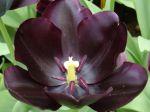 Enfin ! La Tulipe noire, si ch�re � Alexandre Dumas (p�re)!