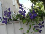 Clématite 'Aromatica' (Clematis) à grandes fleurs photographiée à Saint-Emilion (33) (mais la fleur n'est pas de couleur bordeaux !)