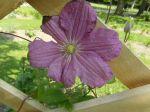Clématite laineuse (Clematis lanuginosa) -Détail de la fleur-