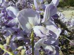 Glycine de Chine (Wisteria sinensis) -D�tail des fleurs-