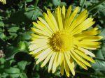 Doronic (Doronicum) cultiv�e en prairie naturelle au Parc municipal de St-Germain-l�s-Arpajon (91)