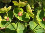 Euphorbe characias ou Euphorbe des garrigues (Euphorbia characias) -Fleurs et bract�es-