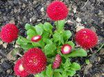 Paquerettes pompons rouges photographiées à Tournan-en-Brie (77)