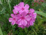 Phlox paniculé (Phlox paniculata) -Détail de l'inflorescence-