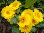 Primev�re commune, Primev�re acaule ou Primev�re sans tige (Primula vulgaris) de couleur jaune