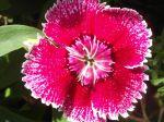 Oeillet de Chine (Dianthus chinensis) -D�tail de la fleur-