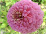 Zinnia �l�gant rose (Zinnia elegans ou Zinnia violacea) photographi� � Chartres (28)