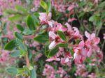 Escallonia rouge (Escallonia rubra) -Détail des feuilles et des fleurs-