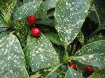 Aucuba du Japon (Aucuba japonica) - Feuilles panach�es vert et blanc-cr�me et fruits rouges -