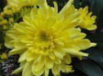 """Chrysanthème d'or (Chrysanthemum hortorum). Pour les Chinois, Jiuhua est la fleur symbolique d'automne (""""richesse, bonheur et longue vie"""") , fleur du neuvième mois (l'automne), où le nombre neuf rappelle l'association avec l'éternel' (jiu), hua signifiant: fleur."""