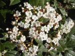 Laurier-tin (Viburnum tinus) ou Viorne-tin -Feuilles, fleurs et jeunes rameaux en vue rapprochée