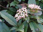 Laurier-tin (Viburnum tinus) ou Viorne-tin -Feuilles et fleurs en boutons roses et blancs-