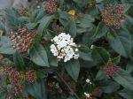 Laurier-tin (Viburnum tinus) ou Viorne-tin aux boutons floraux de couleur rouge