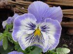 Pensée (Viola) ou : Rose des vents du sud sculptée dans le marbre et l'améthyste PS: J'en ai de multiples en photo surnommées selon mon humeur