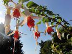 Fuchsia photographié à Bonneval (28)