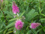 Véronique arbustive ou Hébé diosmifolia -Feuilles et épis floraux-
