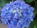 Hortensia bleu (Hydrangea)