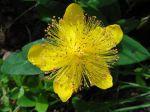 Millepertuis perforé ou Millepertuis commun ou Millepertuis officinal (Hypericum perforatum) -Détail de la fleur aux multiples étamines-