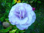 Rose bleue de Gif sur Yvette (91)