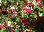 Sauge de Graham (Salvia grahami)
