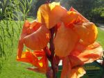 Canna (Canna indica) -D�tail de la fleur orange-