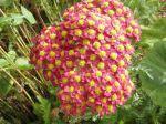 Achillée millefeuille (Achillea millefolium) à fleurs roses