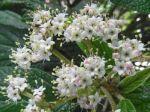 iorne à feuilles ridées (Viburnum rhytidophyllum) -Détail des fleurs-