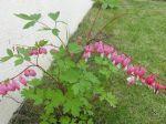 Cœur de Marie, Cœur-de-Jeannette ou Cœur-Saignant (Dicentra spectabilis) -Feuilles et fleurs-