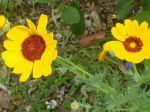 Coreopsis �l�gant  (Coreopsis tinctoria)