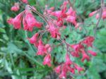 Heuchère (Heuchera) ou Désespoir du peintre -Détail des fleurs, aussi difficiles à photographier qu'à peindre-