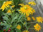 Rudbeckie (Rudbeckia hirta) 'Prairie Sun' aussi brillantes que des fusées d'artifice