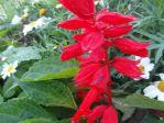Sauge éclatante (Salvia splendens)