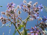 Bourrache ou Bourrache officinale (Borago officinalis) vue par dessous au domaine du château de Chamarande. Tons bleu-ciel et rose