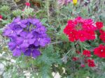 Croix de Malte ou de Jérusalem (Lychnis chalcedonica) rouges et violets