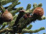 Araucaria (Pin du Chili) ou Désespoir des singes -Vue des cônes femelles au bout des rameaux-