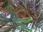 Araucaria (Pin du Chili) ou Désespoir des singes -Rameaux anciens et nouveaux Vus par en-dessous-