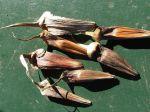 Araucaria -Graines en forme de fléchettes échappées des cônes femelles éclatés (longueur environ 4 à 5 cm !)