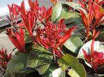 Photinia x fraseri et ses jeunes pousses de printemps