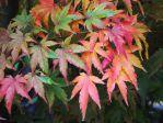 Erable du Japon (Acer palmatum) - Feuilles d'automne -