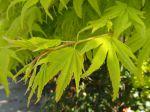 Erable palmé ou érable japonais lisse (Acer palmatum) -Détail des feuilles au printemps-